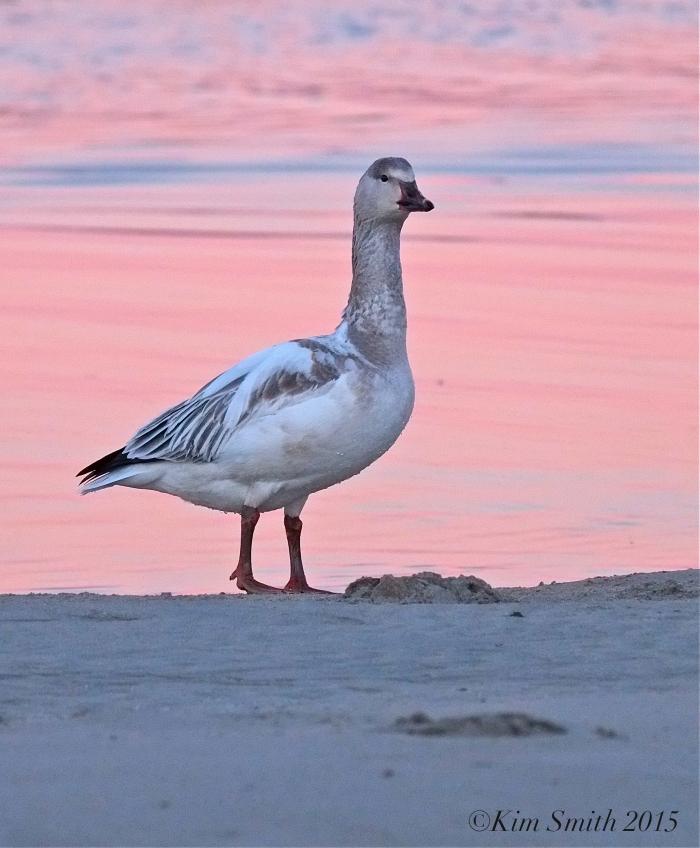 Snow Goose Juvenile Gloucester Massachusetts -4 ©Kim Smith 2015