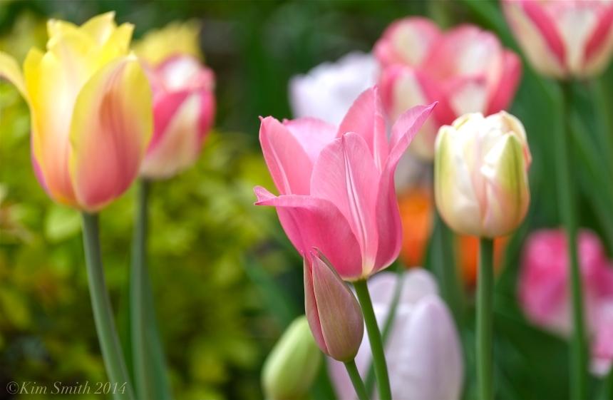 Tulips Mary Prentiss Inn ©Kim Smith 2014JPG