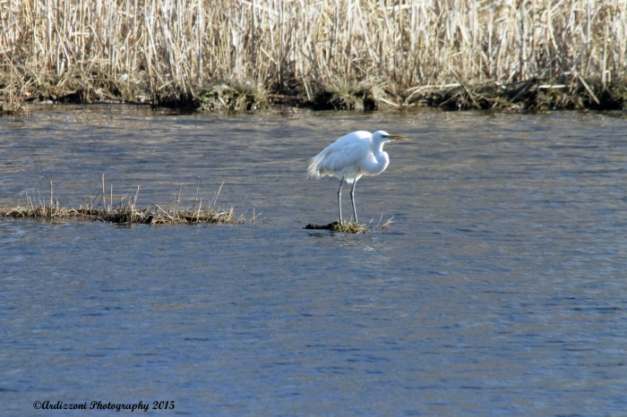 April 15, 2015 one of my favorites Egrets