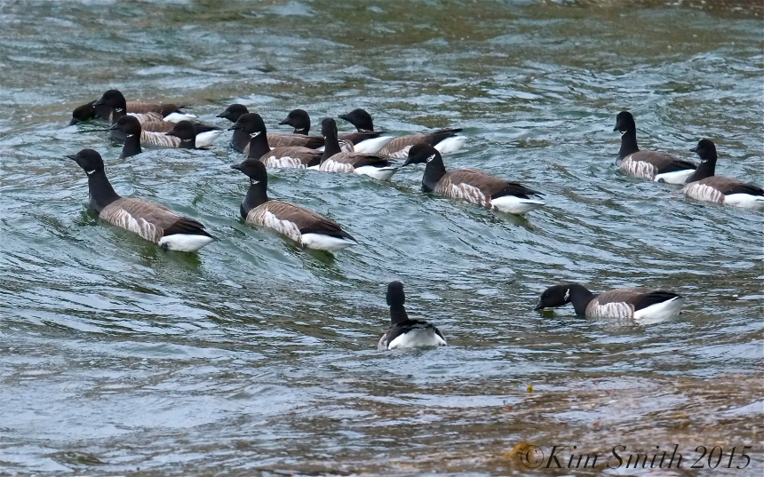 Brant Geese Plum Cove Beach Gloucester Massachusetts ©Kim Smith 2015