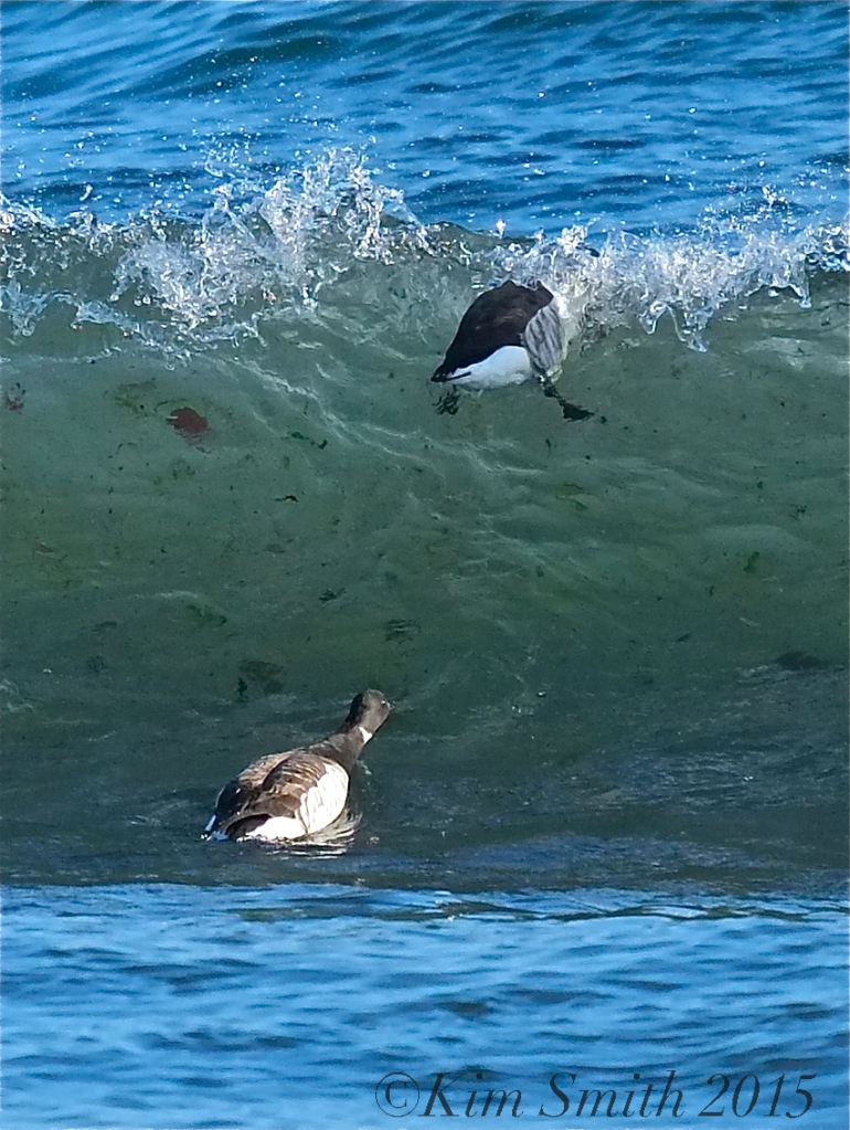 Brant Geese Plum Cove Beach Rockport Massachusetts -2 ©Kim Smith 2015