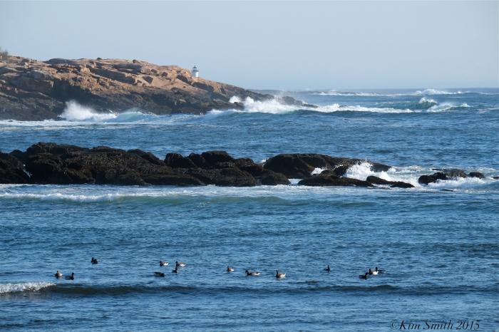 Brant Geese Plum Cove Beach Rockport Massachusetts ©Kim Smith 2015