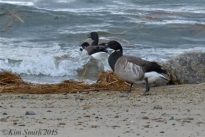 Brant Goose Plum Cove Beach Gloucester Massachusetts ©Kim Smith 2015