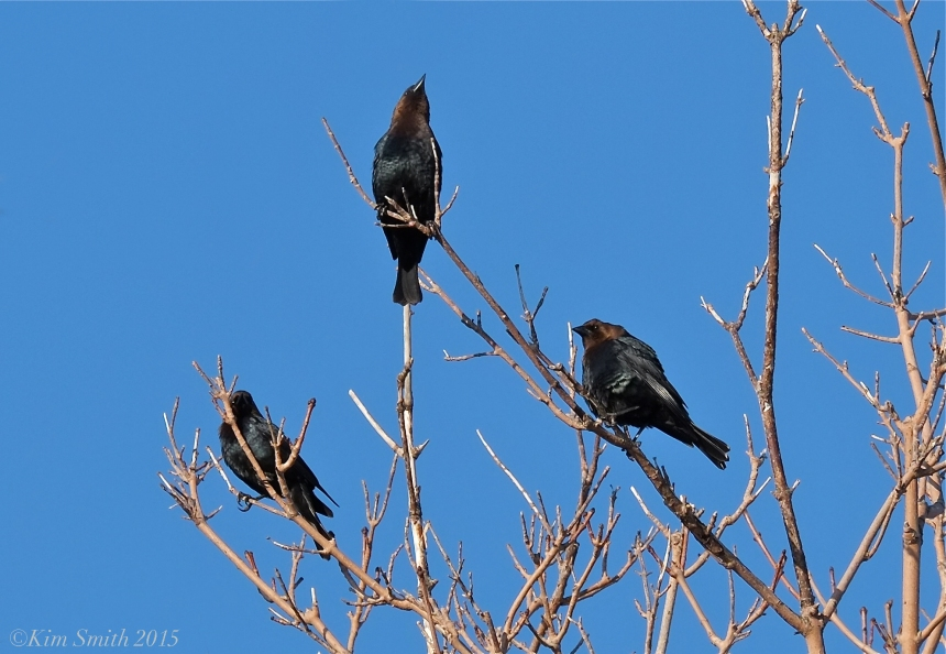 Brown-headed Cowbirds ©Kim Smith 2015