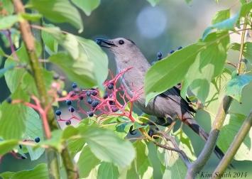 Catbird eating dogwood fruits ©Kim Smith 2014