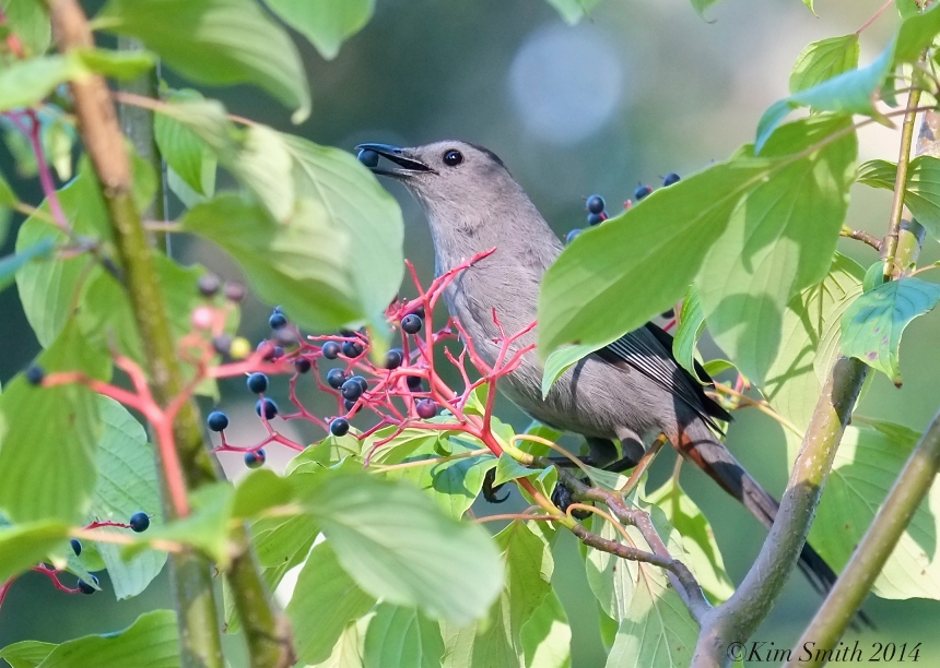 Catbird eating  dogwood fruits ©Kim Smith 2014