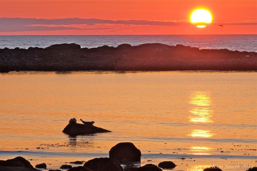 Harbor Seals Brace Cove Sunrise ©Kim Smith 2015
