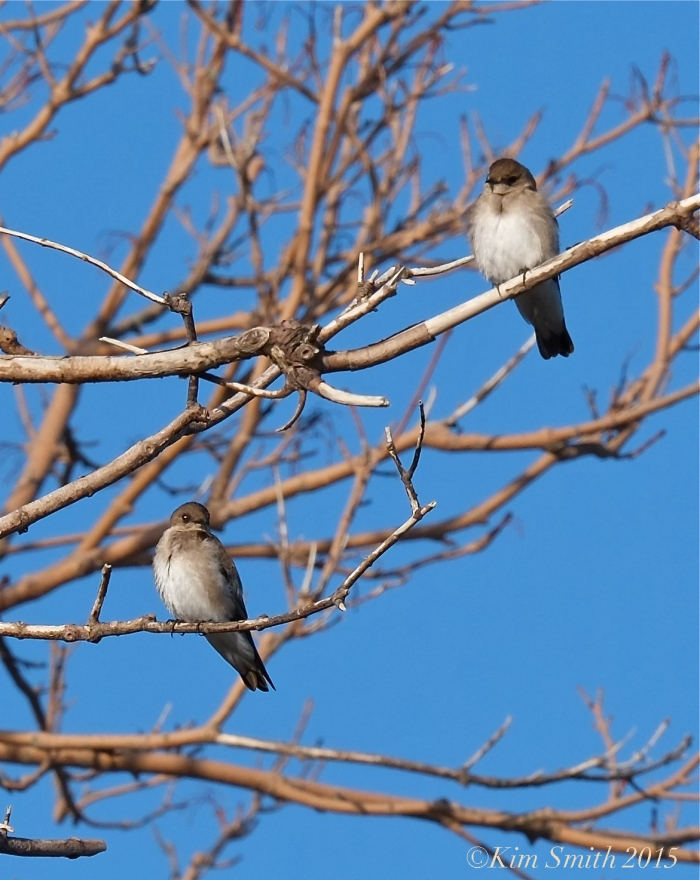 Northern Rough-winged Swallows ©kim Smith 2015