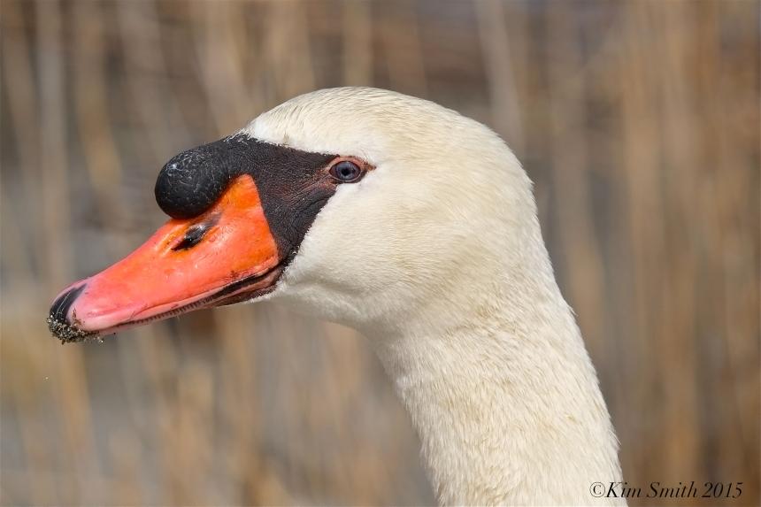 Swan Male Cob
