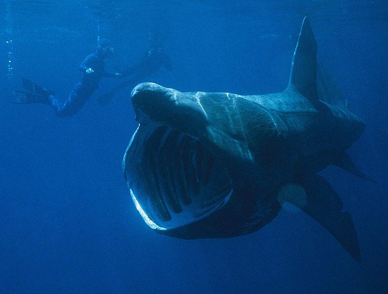 790px-Basking_Shark