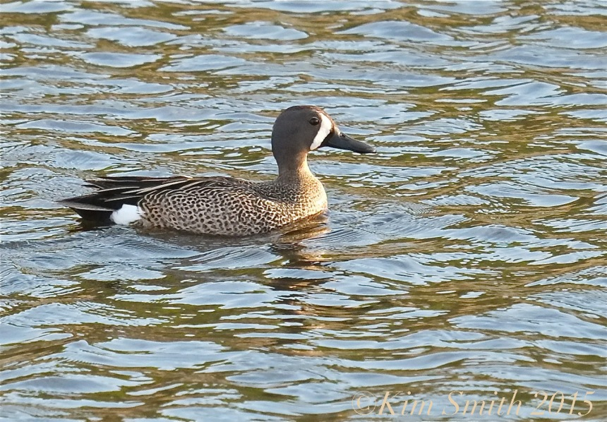 Blue-winged Teal adult male breeding ©Kim Smith 2015