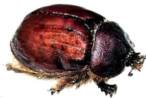 cochineal-insect