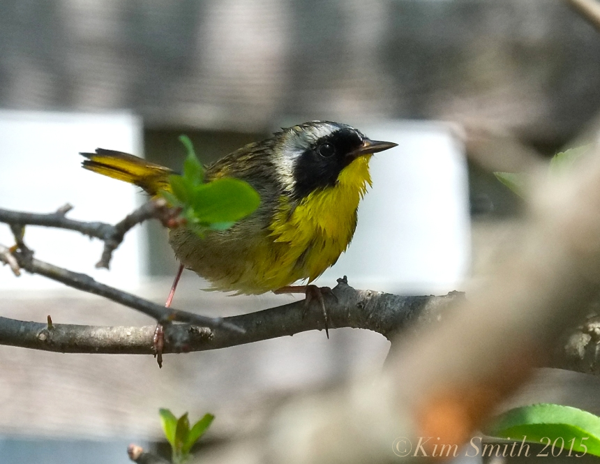 Common Yellowthroat Warbler ©Gloucester MA -1 ©Kim Smith 2015