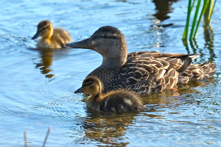 Female Mallard and Ducklings ©Kim Smith 2015
