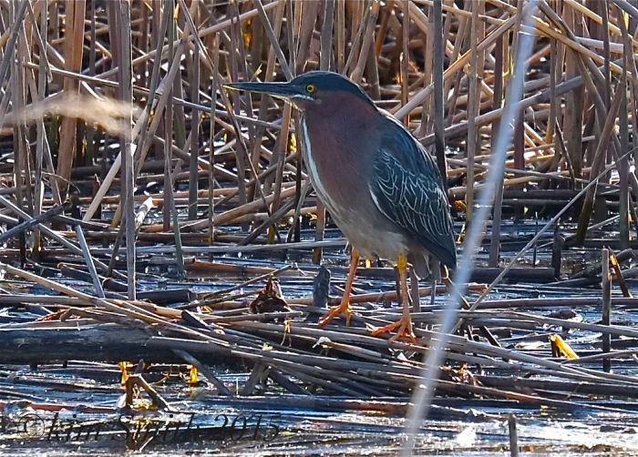 Green Heron Massachusetts Cape Ann ©Kim Smith 2015