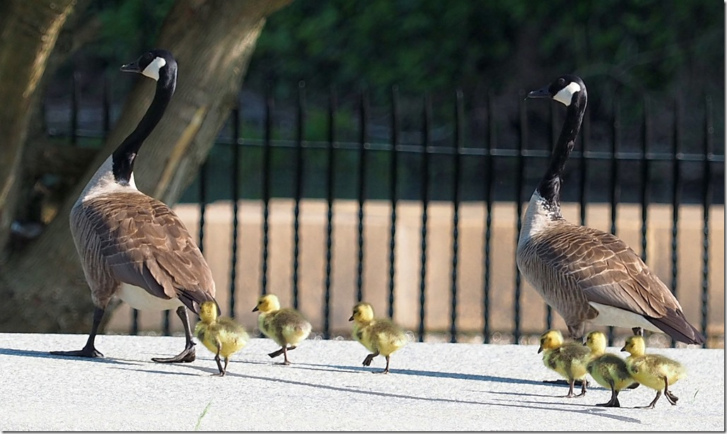 Make way for goslings