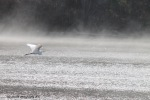 May 2, 2015 Egret into the fog