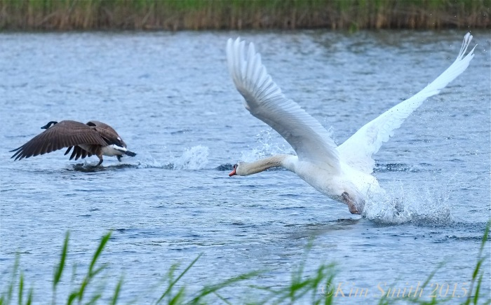 Mute Swan attacking ©Kim Smith 2015