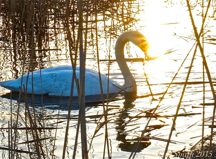 Mute Swan Cygnus olor ©Kim Smith 2015