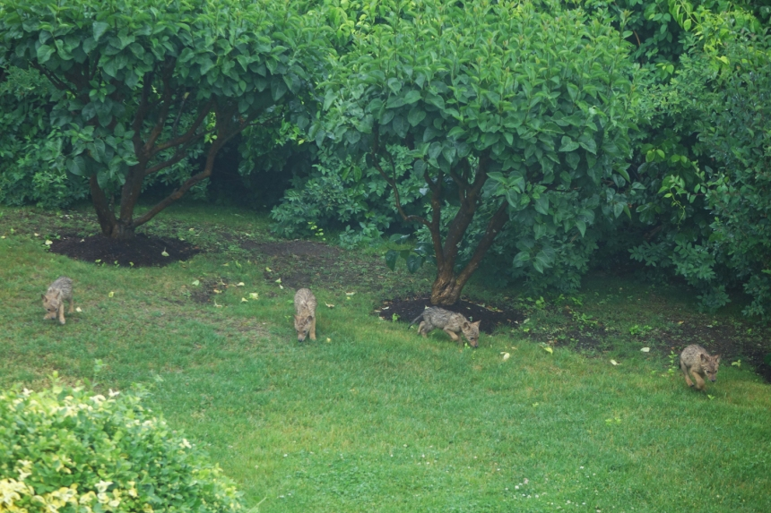 150621 Gloucester, Eastern Point, coyote pups (1a)