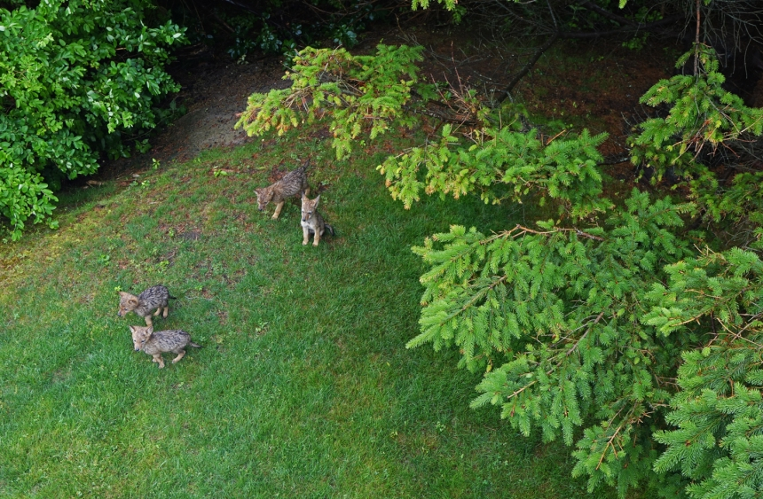 150621 Gloucester, Eastern Point, coyote pups (4a)