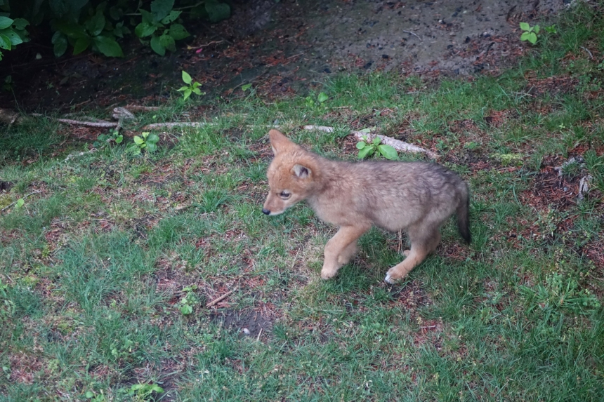 150621 Gloucester, Eastern Point, coyote pups return (7a)
