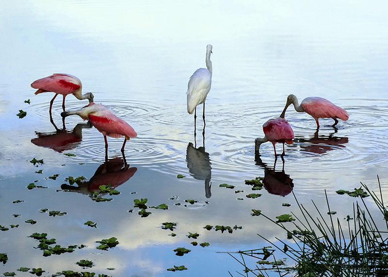 four spoonbills and an egret