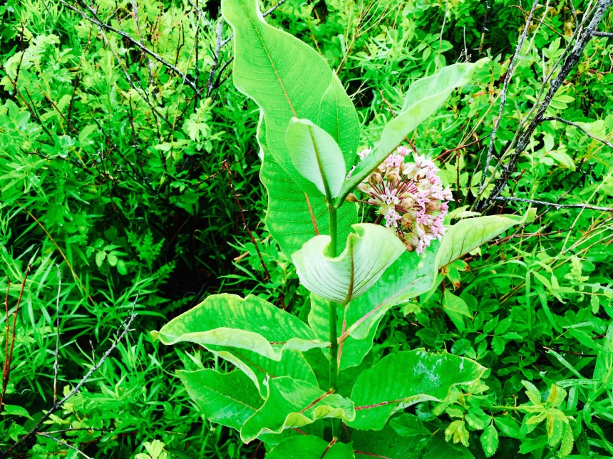 Where the Monarchs love to munch, milkweed.