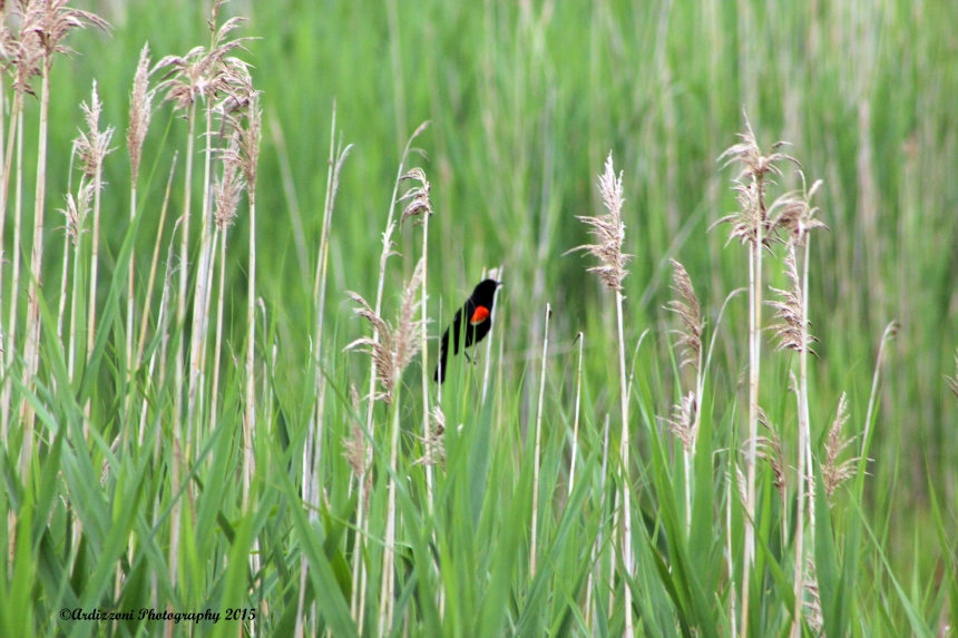 June 29, 2015 Red Winged Blackbird
