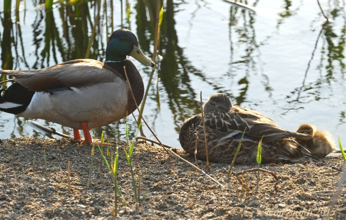Mallard Duck Family ©Kim Smith 2015