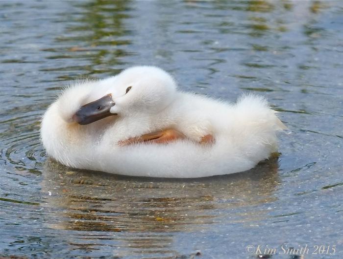 Mute swan cygnet -3  Massachusetts ©Kim Smith 2015