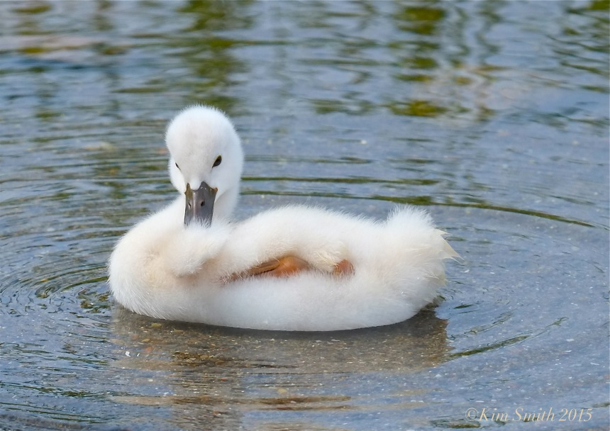 Mute swan cygnet  Massachusetts  -1©Kim Smith 2015