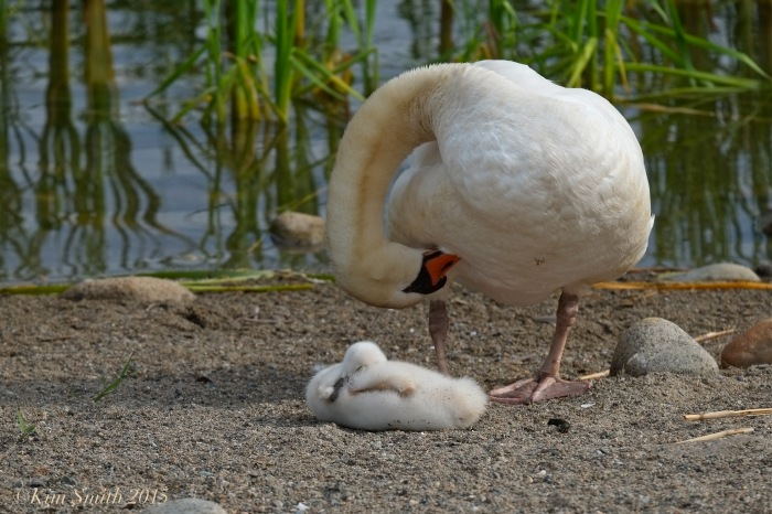 Mute swan cygnet pen, female Massachusetts -2 ©Kim Smith 2015