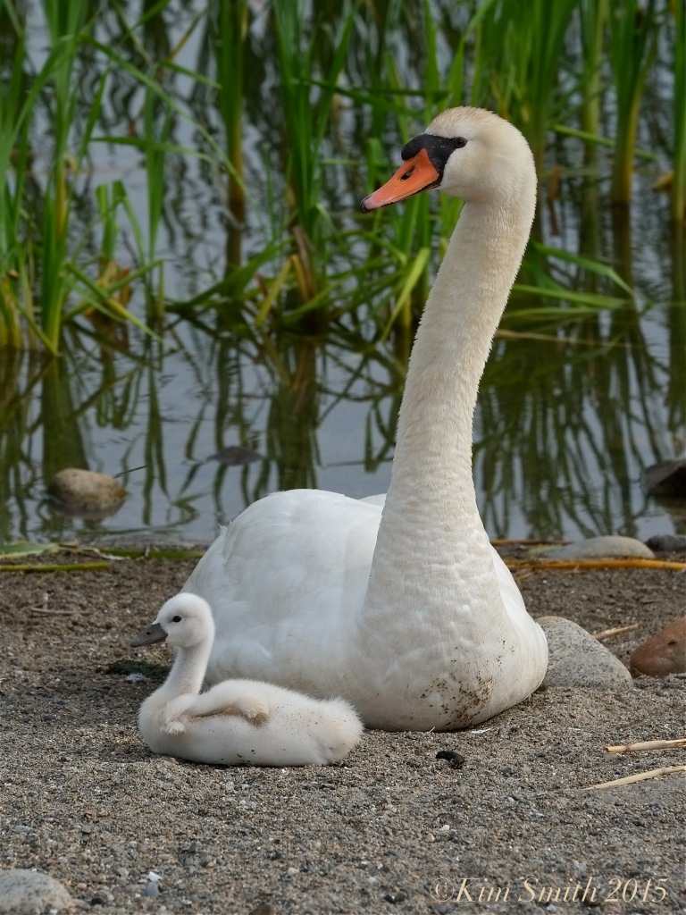 Mute swan cygnet pen, female Massachusetts -3 ©Kim Smith 2015