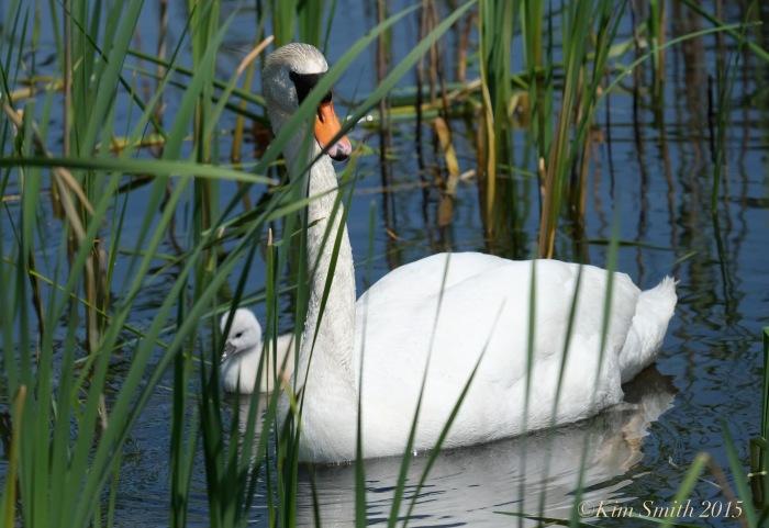 Mute swan cygnet pen, female Massachusetts ©Kim Smith 2015