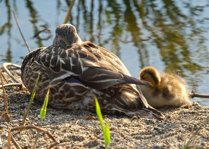 Sleeping Mallard Duckling ©Kim Smith 2015