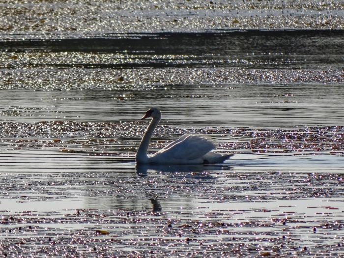 swan back at niles