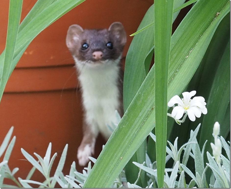 Weasel crop