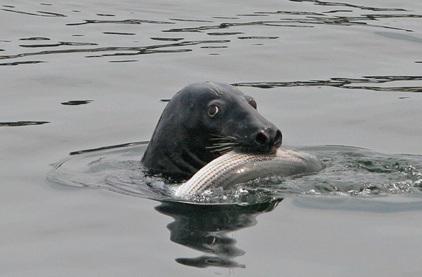 gray-seal-3