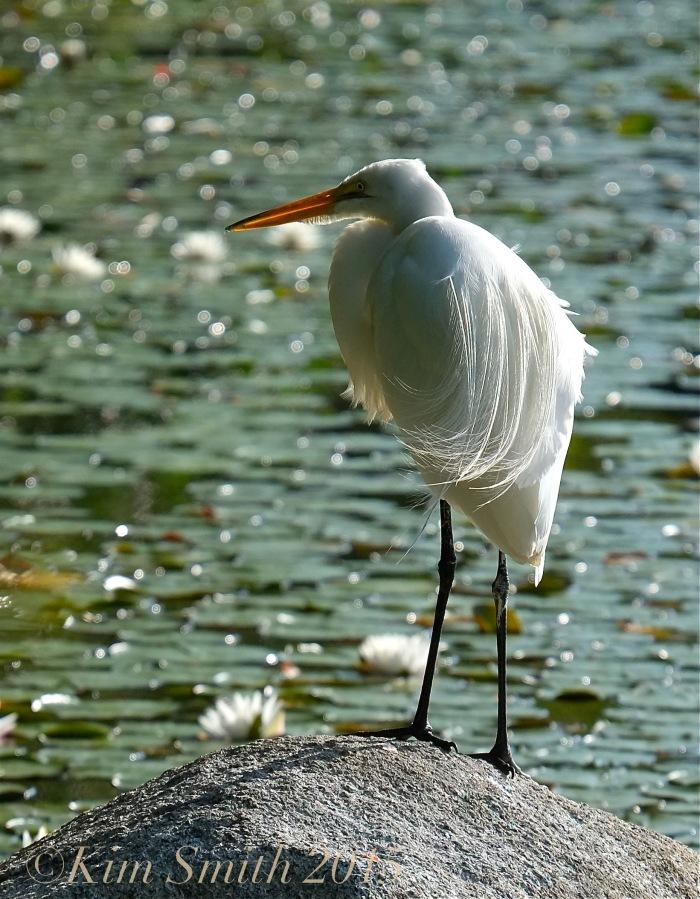 Great Egret airgrettes ©Kim Smith 2015
