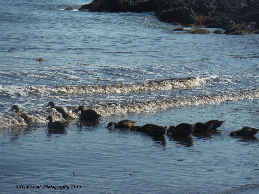 July 16, 2015 family of ducks feeding time