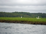 July 25, 2015 Egrets watching the Blackburn Challenge