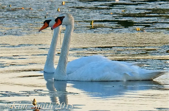 Mute Swan male female çygnus olor ©Kim Smith 2015