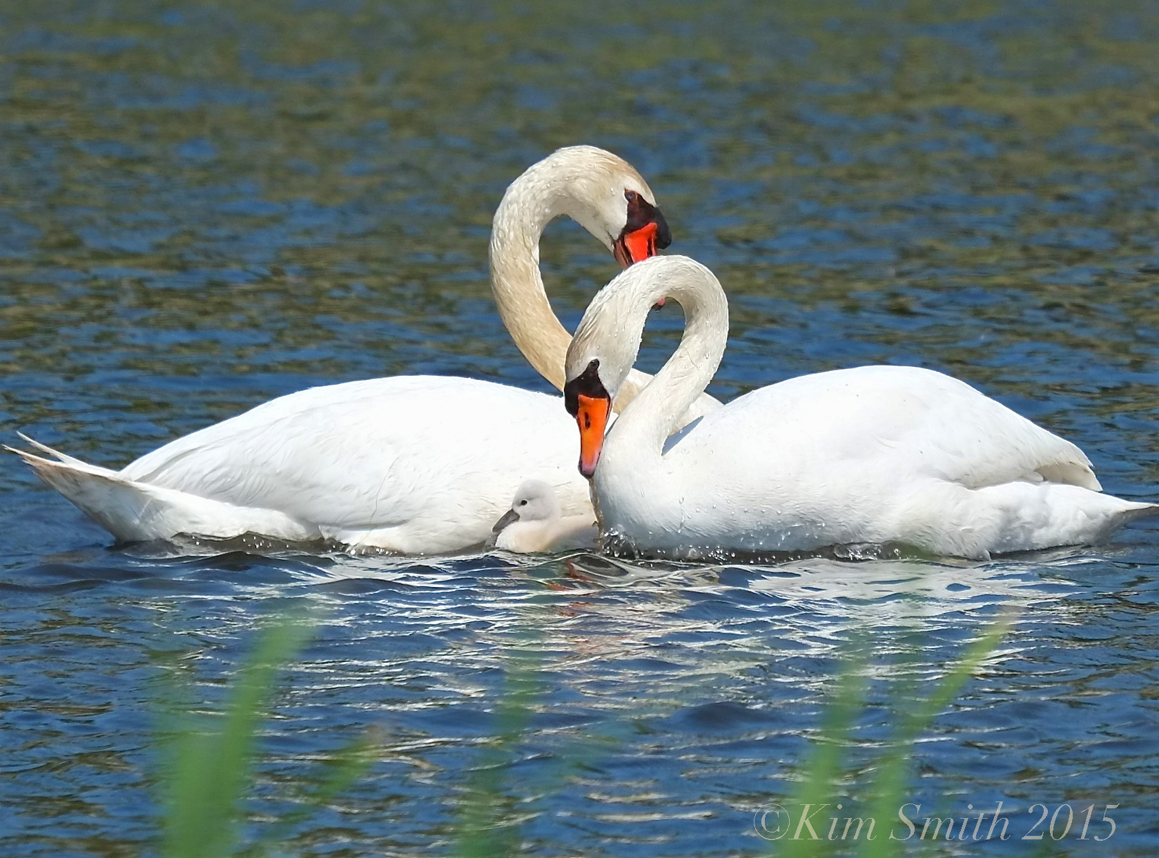 how to tell the difference between a male and female swan
