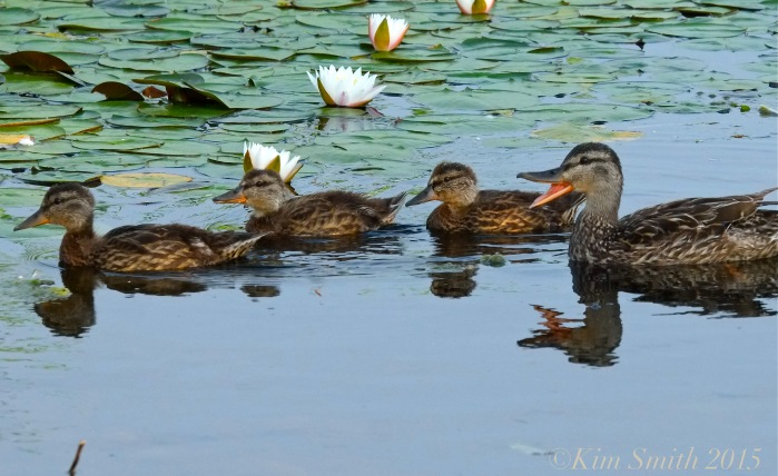 Niles Pond Ducklings -4 ©Kim Smith 2015