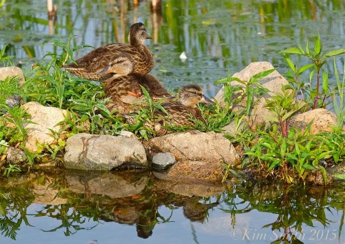 Niles Pond Ducklings ©Kim Smith 2015