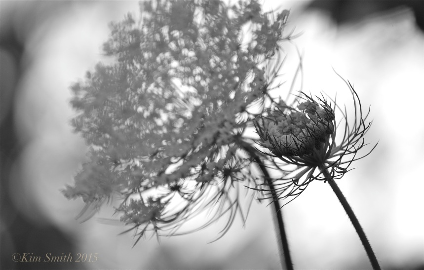 Queen Annes's Lace -3 ©Kim smith 2015