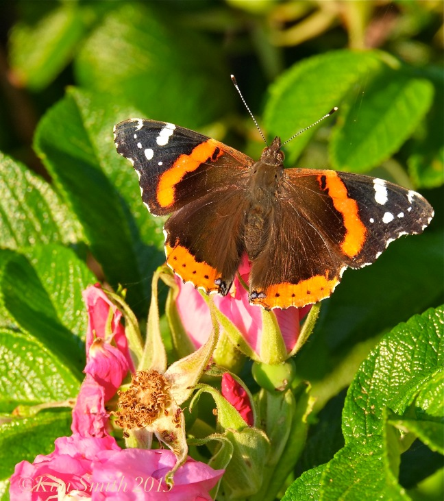Red Admiral Butterfly Niles Pond ©Kim Smith 2015