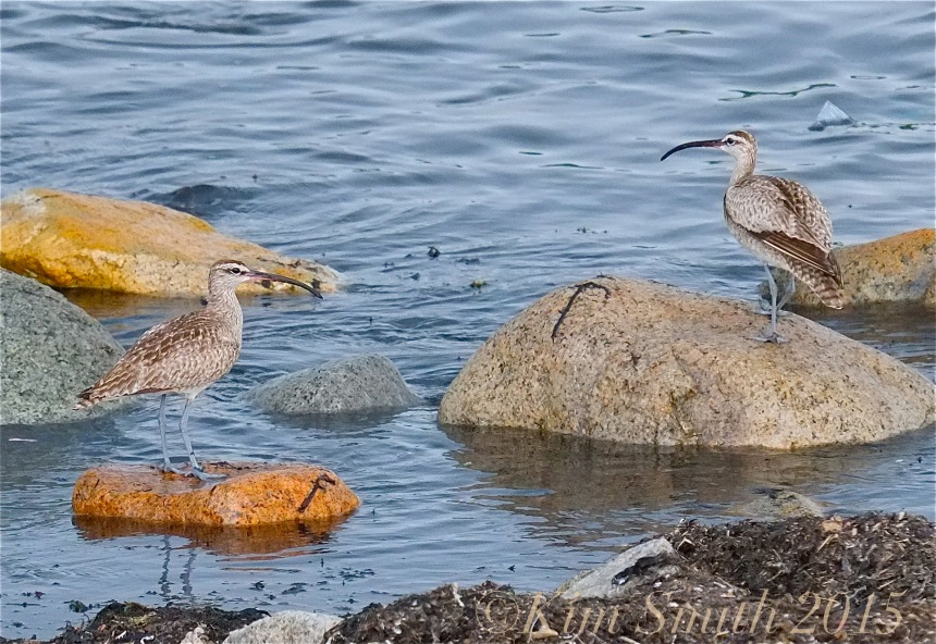 Whimbrels East Gloucester Massachusetts july 25 ©Kim Smith 2015
