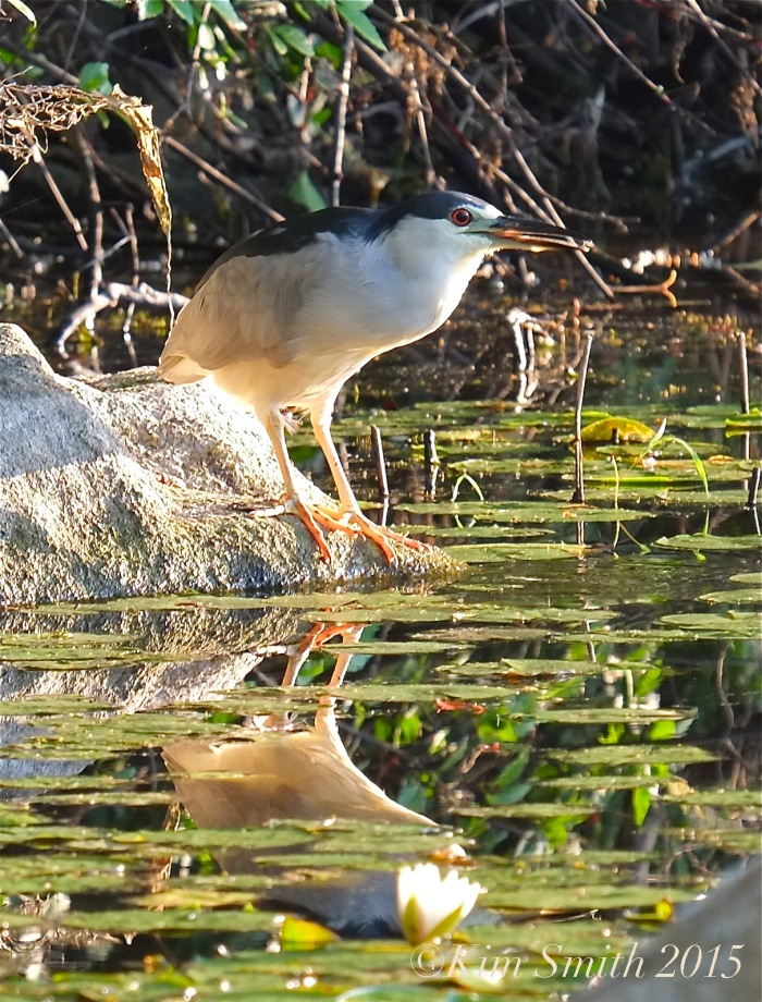 Black-crowned Night Heron Gloucester -2 ©Kim Smith 2015